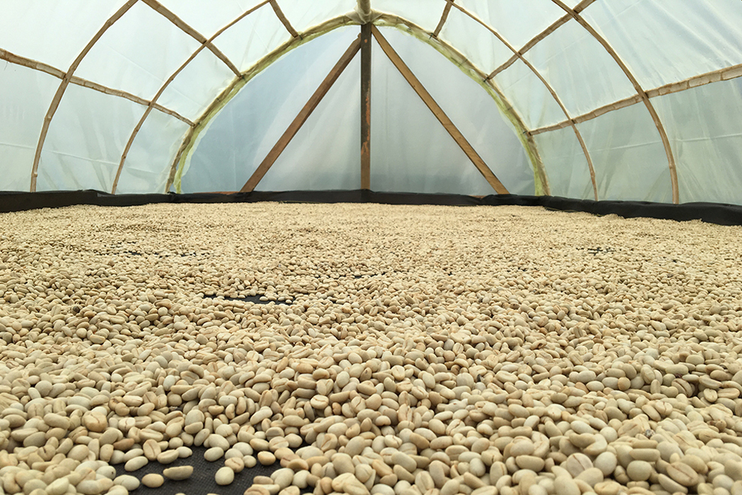 Cordial Coffee Co Brandon Belland Dries Coffee Beans at Finca La Vega, a string of coffee farms in Antioquia Colombia